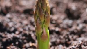 asparagus-300x168